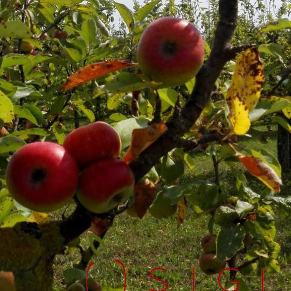 mela rosa