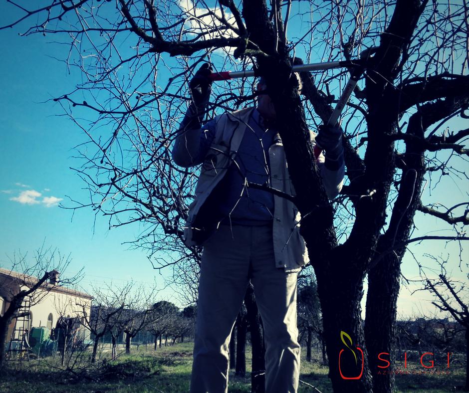 Potatura alberi da frutto azienda agricola si gi for Potatura alberi da frutto